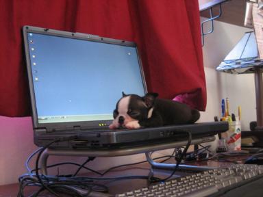 Dog asleep on a laptop